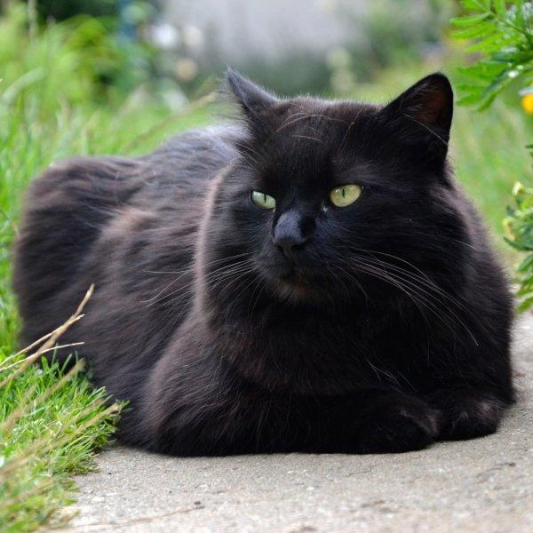 Zīdainais kaķis