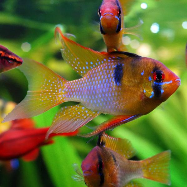 Ramireza tauriņzivs