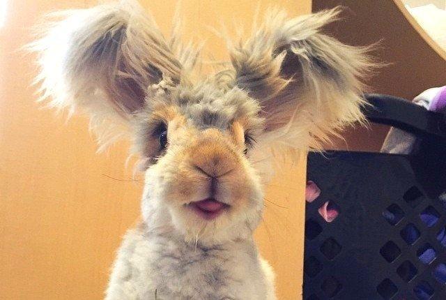 Jaunā interneta zvaigzne – trusis ar šausmīgi smieklīgām ausīm